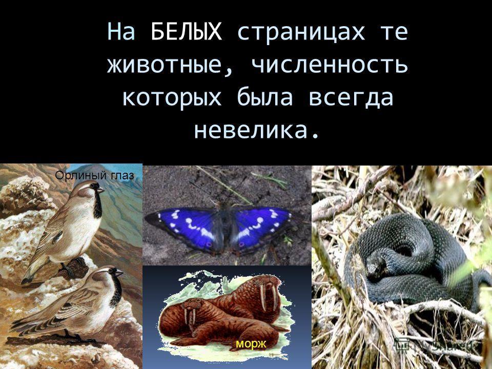 На БЕЛЫХ страницах те животные, численность которых была всегда невелика. Орлиный глаз морж