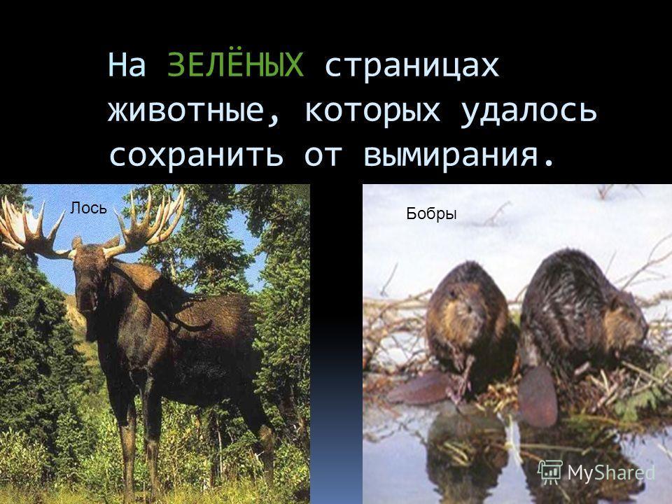 На ЗЕЛЁНЫХ страницах животные, которых удалось сохранить от вымирания. Лось Бобры