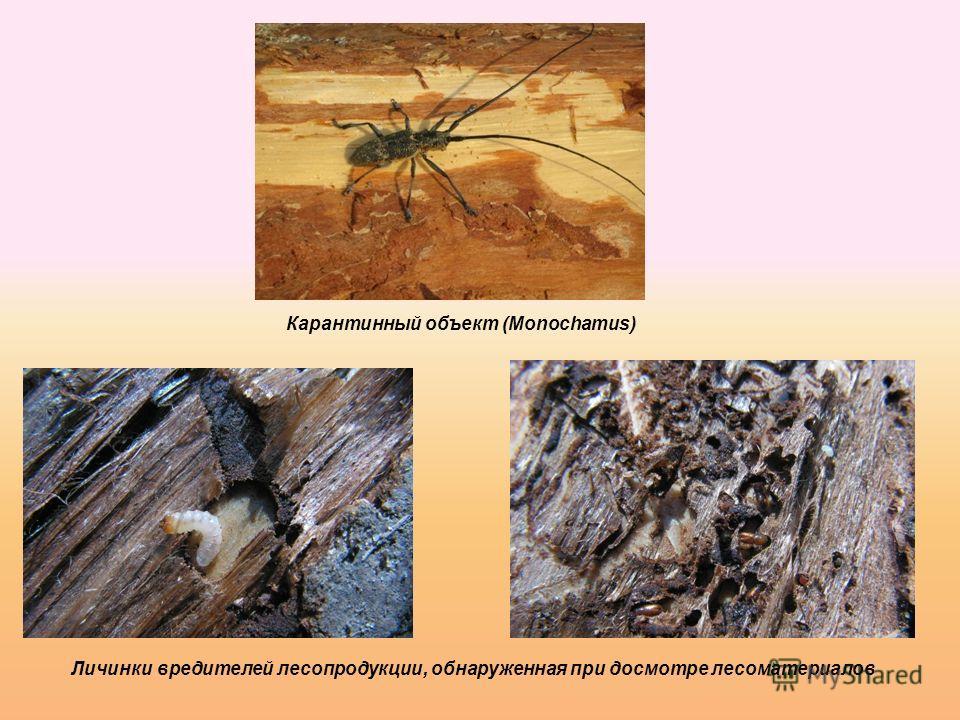 Карантинный объект (Monochamus) Личинки вредителей лесопродукции, обнаруженная при досмотре лесоматериалов