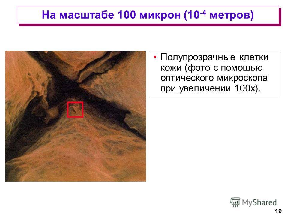 19 На масштабе 100 микрон (10 -4 метров) Полупрозрачные клетки кожи (фото с помощью оптического микроскопа при увеличении 100x).
