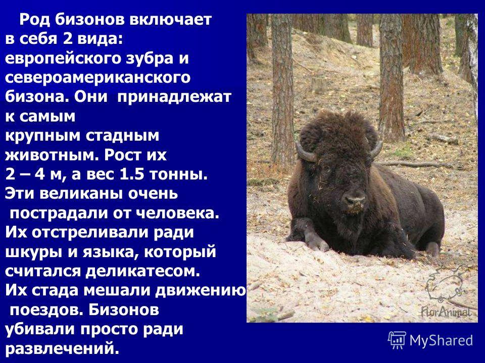 Род бизонов включает в себя 2 вида: европейского зубра и североамериканского бизона. Они принадлежат к самым крупным стадным животным. Рост их 2 – 4 м, а вес 1.5 тонны. Эти великаны очень пострадали от человека. Их отстреливали ради шкуры и языка, ко