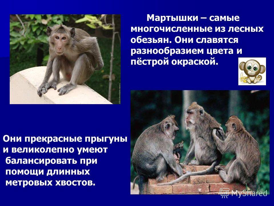 Мартышки – самые многочисленные из лесных обезьян. Они славятся разнообразием цвета и пёстрой окраской. Они прекрасные прыгуны и великолепно умеют балансировать при помощи длинных метровых хвостов. Мартышки – самые многочисленные из лесных обезьян. О