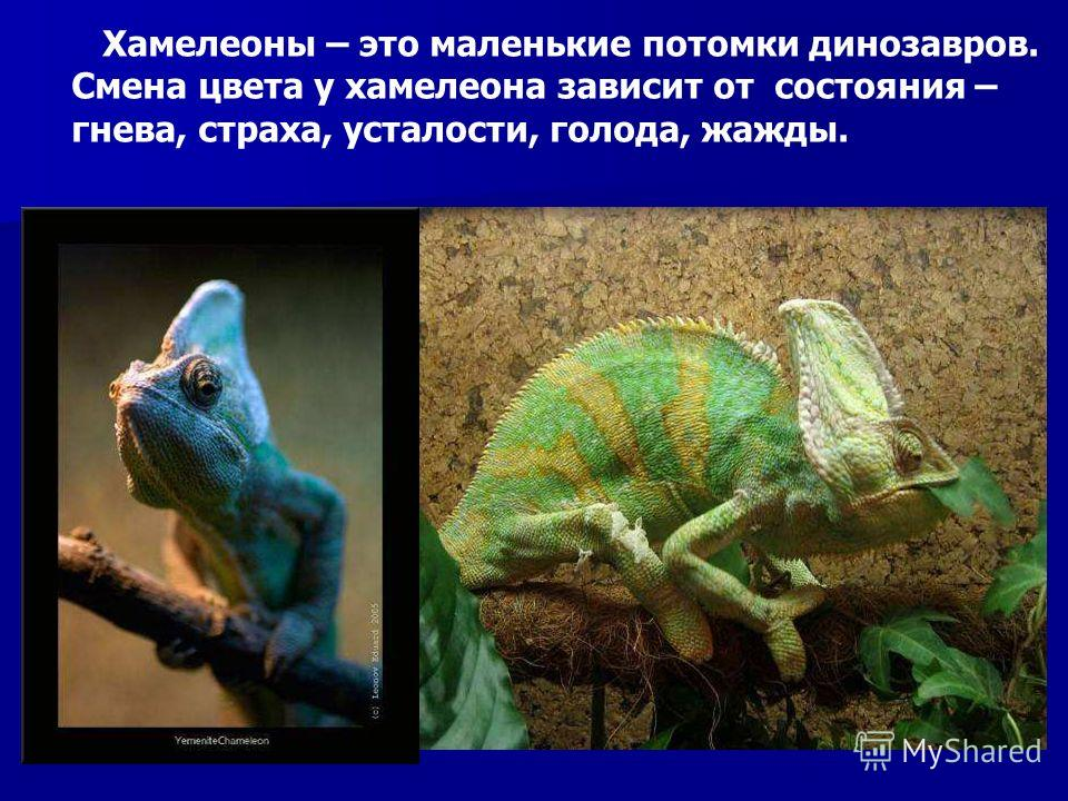 Хамелеоны – это маленькие потомки динозавров. Смена цвета у хамелеона зависит от состояния – гнева, страха, усталости, голода, жажды. Хамелеоны – это маленькие потомки динозавров. Смена цвета у хамелеона зависит от состояния – гнева, страха, усталост