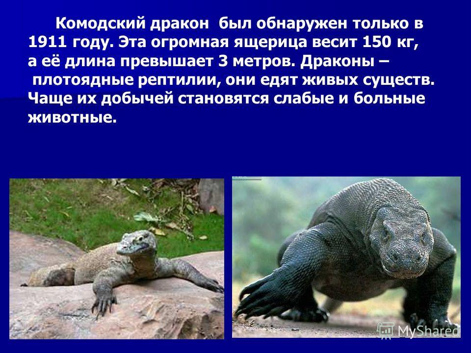 Комодский дракон был обнаружен только в 1911 году. Эта огромная ящерица весит 150 кг, а её длина превышает 3 метров. Драконы – плотоядные рептилии, они едят живых существ. Чаще их добычей становятся слабые и больные животные. Комодский дракон был обн