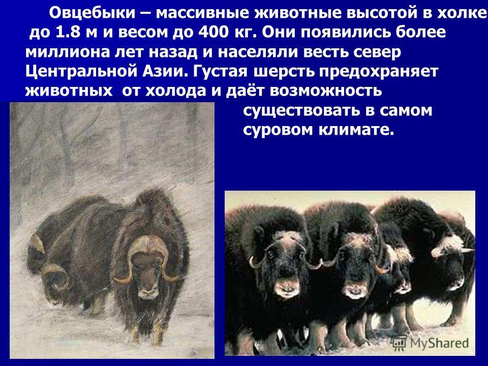 Овцебыки – массивные животные высотой в холке до 1.8 м и весом до 400 кг. Они появились более миллиона лет назад и населяли весть север Центральной Азии. Густая шерсть предохраняет животных от холода и даёт возможность существовать в самом суровом кл
