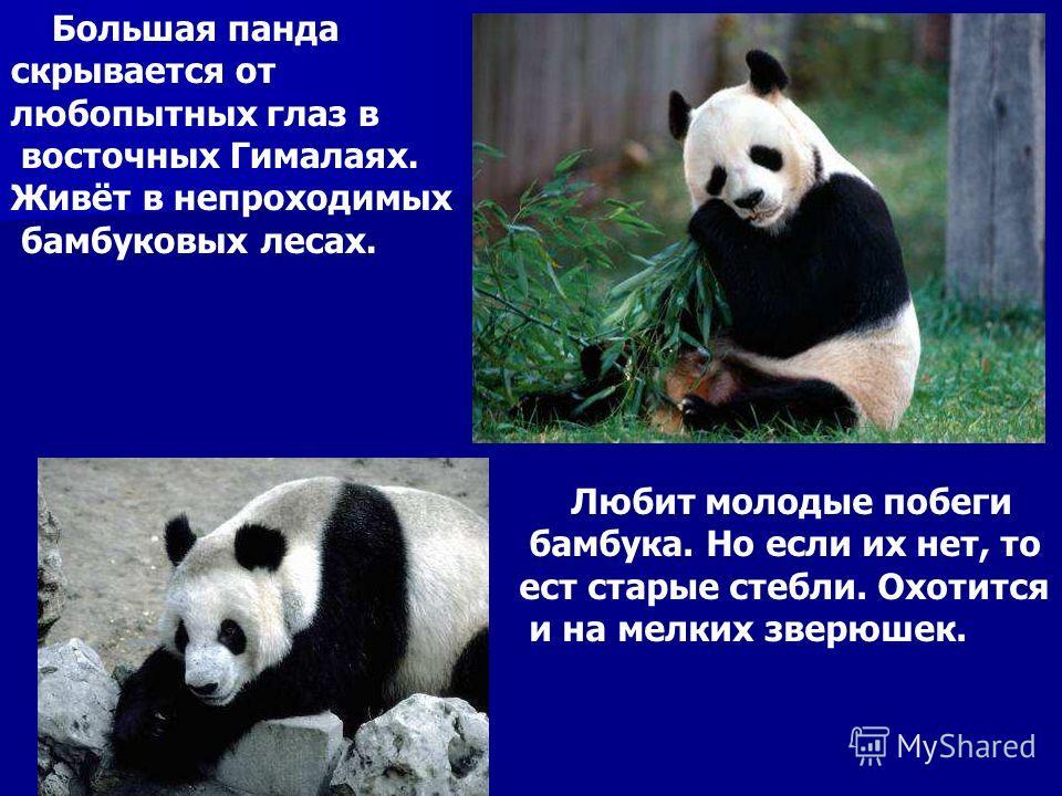 Большая панда скрывается от любопытных глаз в восточных Гималаях. Живёт в непроходимых бамбуковых лесах. Любит молодые побеги бамбука. Но если их нет, то ест старые стебли. Охотится и на мелких зверюшек. Большая панда скрывается от любопытных глаз в