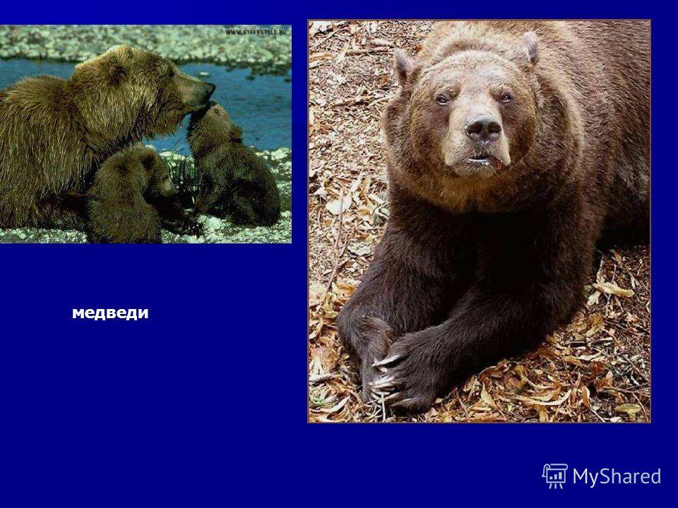 медведи Медведи