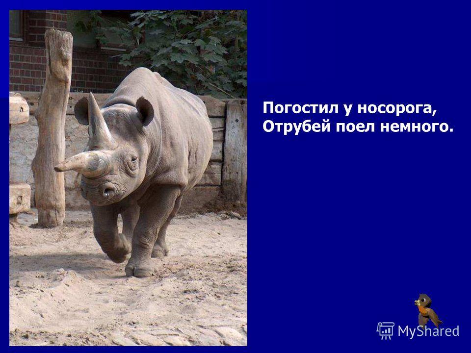 Погостил у носорога, Отрубей поел немного. Погостил у носорога, отрубей поел немного.