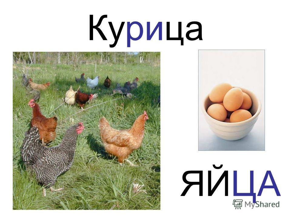 Курица ЯЙЦА