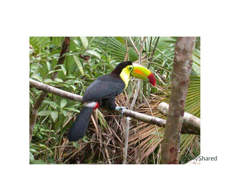 Туканы распространены в тропических лесах Центральной и Южной Америки.
