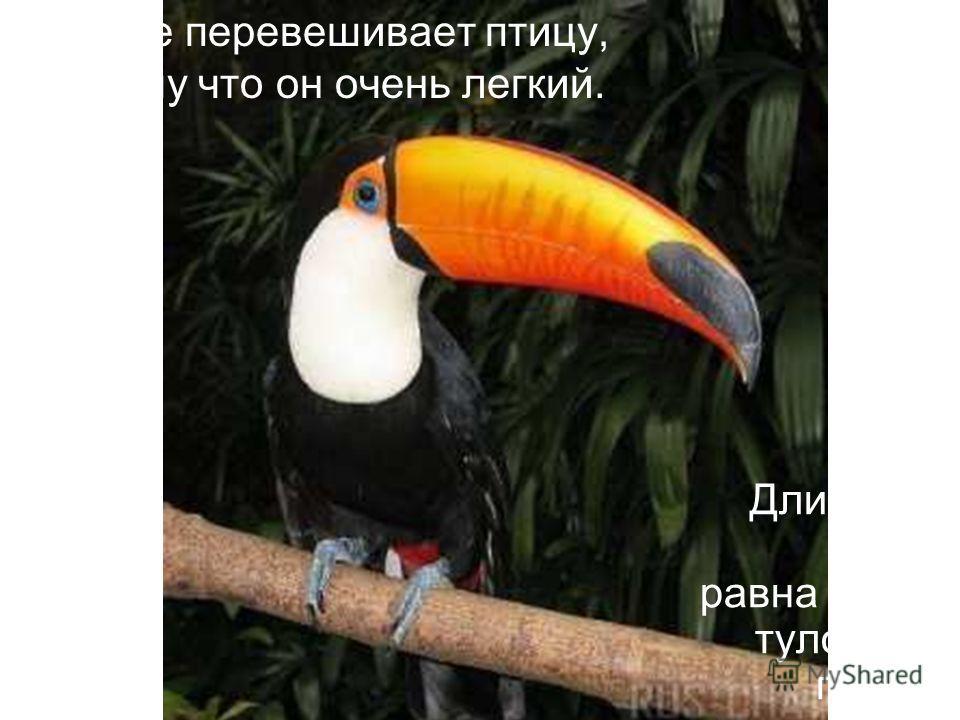 Клюв не перевешивает птицу, потому что он очень легкий. Длина его почти равна длине туловища птицы.