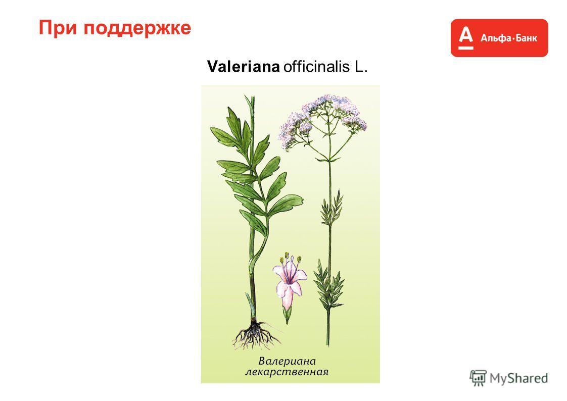 При поддержке Valeriana officinalis L.