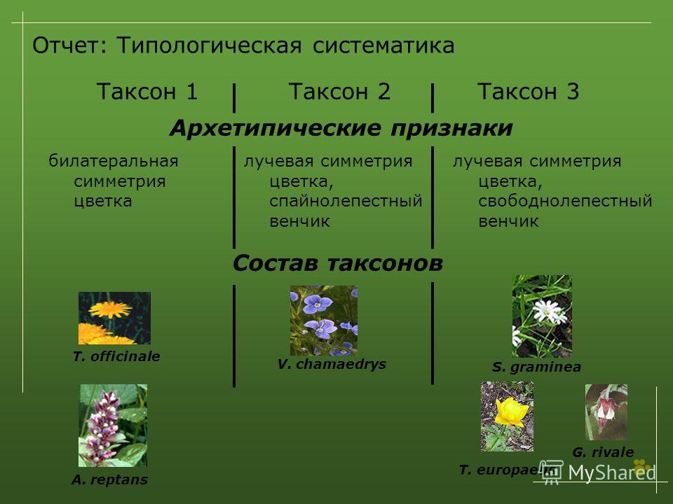 Отчет: Типологическая систематика Таксон 1Таксон 2Таксон 3 Архетипические признаки билатеральная симметрия цветка лучевая симметрия цветка, спайнолепестный венчик лучевая симметрия цветка, свободнолепестный венчик T. officinale Состав таксонов A. rep