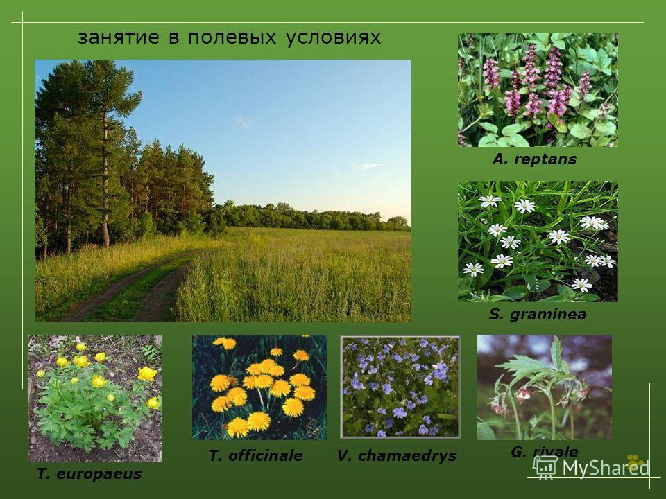 занятие в полевых условиях T. europaeus T. officinaleV. chamaedrys G. rivale S. graminea A. reptans