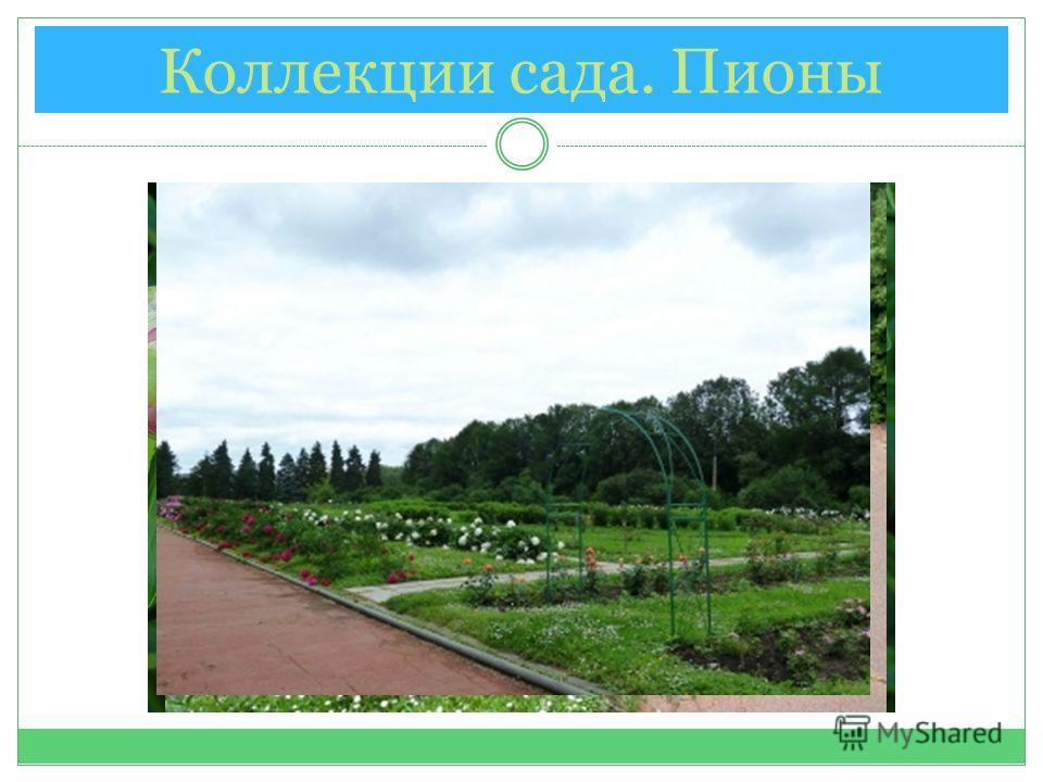 Коллекции сада. Пионы