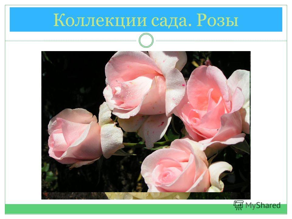 Коллекции сада. Розы
