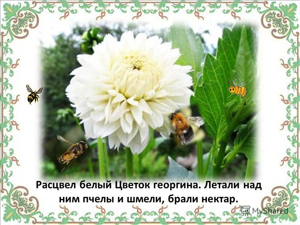 Расцвел белый Цветок георгина. Летали над ним пчелы и шмели, брали нектар.