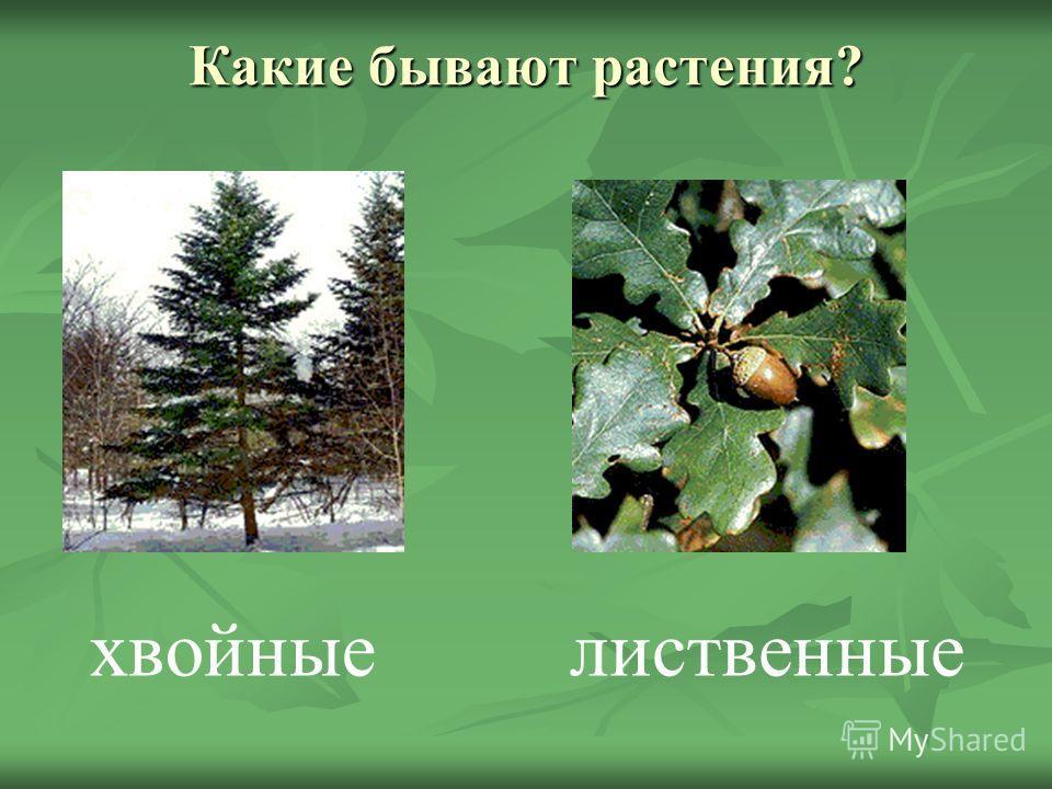 Какие бывают растения? хвойныелиственные