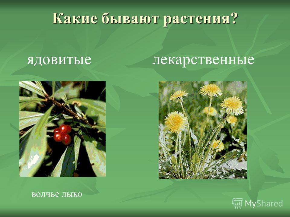 Какие бывают растения? ядовитыелекарственные волчье лыко