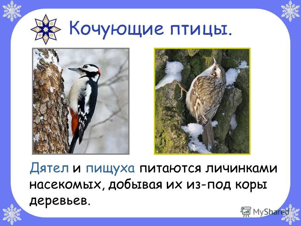 Кочующие птицы. Дятел и пищуха питаются личинками насекомых, добывая их из-под коры деревьев.
