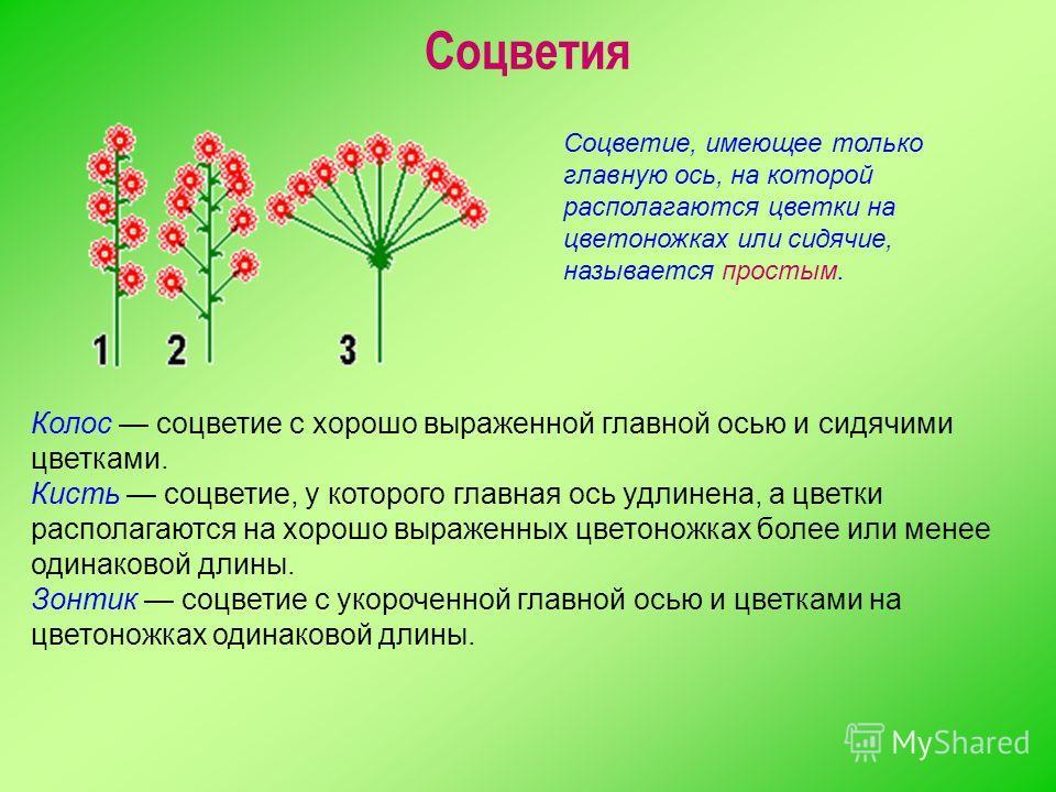 Колос соцветие с хорошо выраженной главной осью и сидячими цветками. Кисть соцветие, у которого главная ось удлинена, а цветки располагаются на хорошо выраженных цветоножках более или менее одинаковой длины. Зонтик соцветие с укороченной главной осью