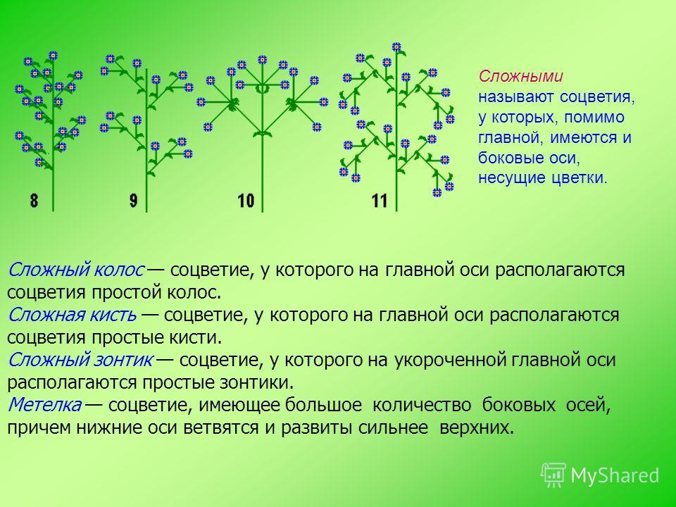 Сложный колос соцветие, у которого на главной оси располагаются соцветия простой колос. Сложная кисть соцветие, у которого на главной оси располагаются соцветия простые кисти. Сложный зонтик соцветие, у которого на укороченной главной оси располагают
