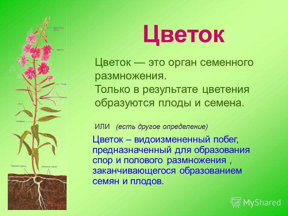 Цветок в котором есть только пестик
