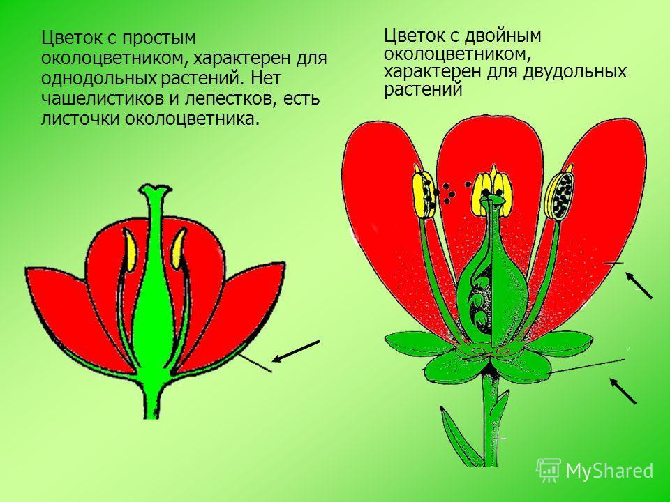 Цветок с двойным околоцветником, характерен для двудольных растений Цветок с простым околоцветником, характерен для однодольных растений. Нет чашелистиков и лепестков, есть листочки околоцветника.