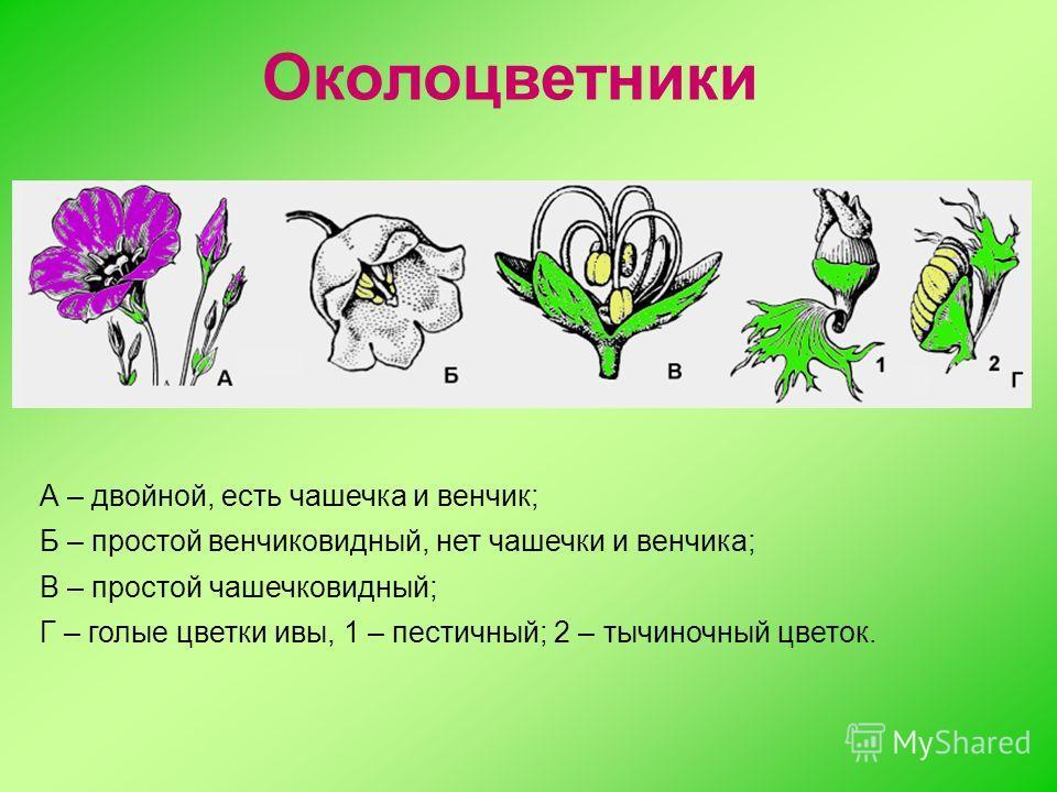 А – двойной, есть чашечка и венчик; Б – простой венчиковидный, нет чашечки и венчика; В – простой чашечковидный; Г – голые цветки ивы, 1 – пестичный; 2 – тычиночный цветок. Околоцветники