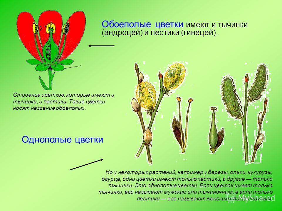 Обоеполые цветки имеют и тычинки (андроцей) и пестики (гинецей). Но у некоторых растений, например у березы, ольхи, кукурузы, огурца, одни цветки имеют только пестики, а другие только тычинки. Это однополые цветки. Если цветок имеет только тычинки, е