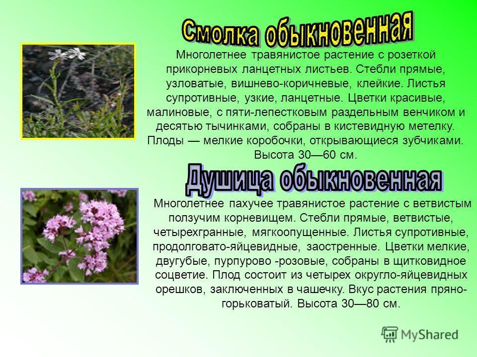 Многолетнее травянистое растение с розеткой прикорневых ланцетных листьев. Стебли прямые, узловатые, вишнево-коричневые, клейкие. Листья супротивные, узкие, ланцетные. Цветки красивые, малиновые, с пяти-лепестковым раздельным венчиком и десятью тычин