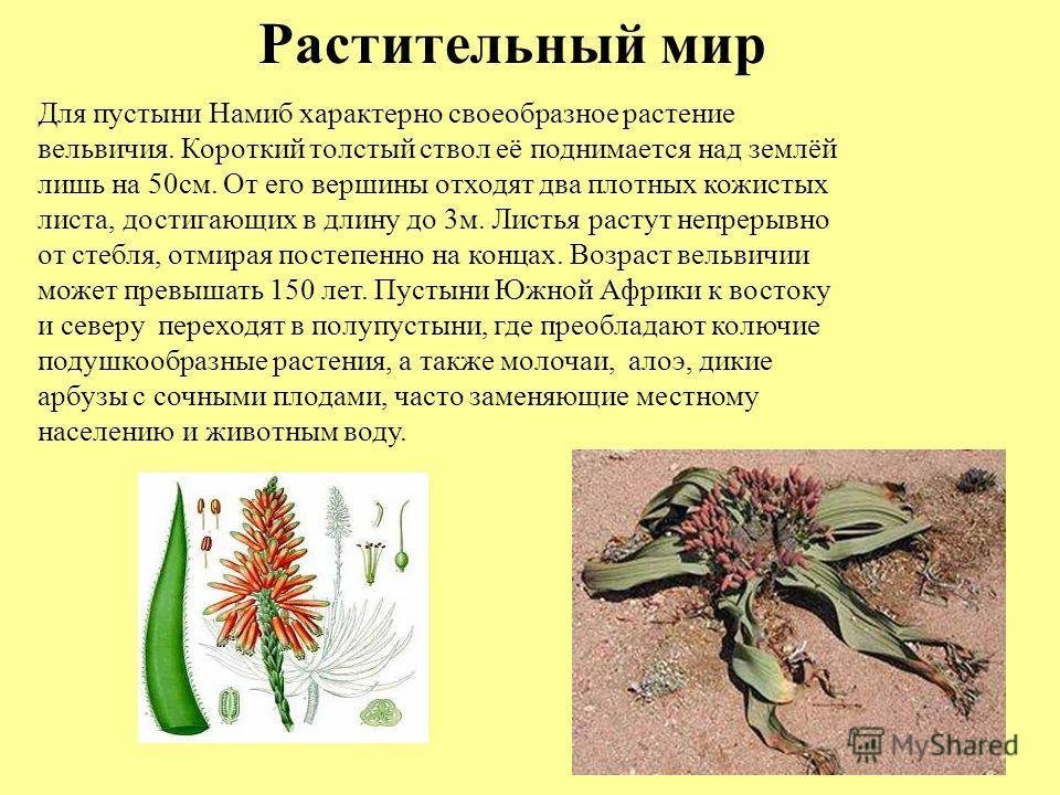 Растительный мир Для пустыни Намиб характерно своеобразное растение вельвичия. Короткий толстый ствол её поднимается над землёй лишь на 50см. От его вершины отходят два плотных кожистых листа, достигающих в длину до 3м. Листья растут непрерывно от ст