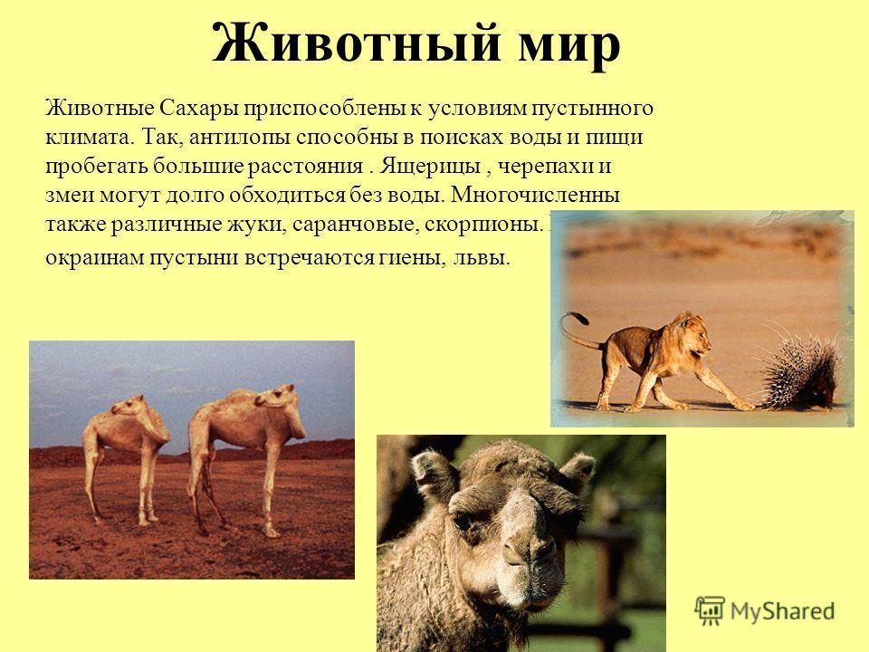 Животный мир Животные Сахары приспособлены к условиям пустынного климата. Так, антилопы способны в поисках воды и пищи пробегать большие расстояния. Ящерицы, черепахи и змеи могут долго обходиться без воды. Многочисленны также различные жуки, саранчо