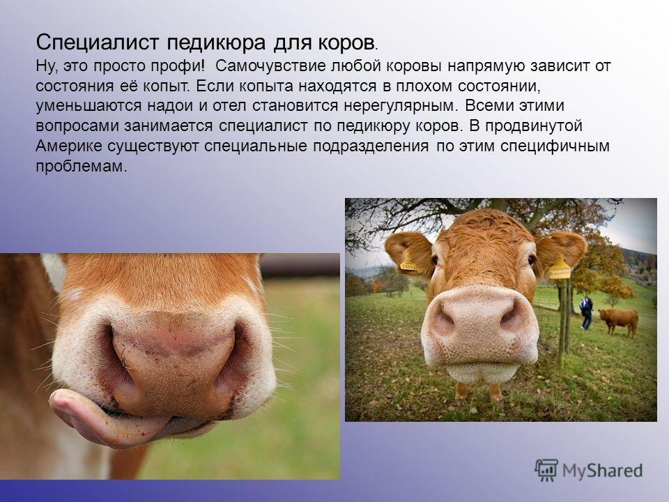 Специалист педикюра для коров. Ну, это просто профи! Самочувствие любой коровы напрямую зависит от состояния её копыт. Если копыта находятся в плохом состоянии, уменьшаются надои и отел становится нерегулярным. Всеми этими вопросами занимается специа