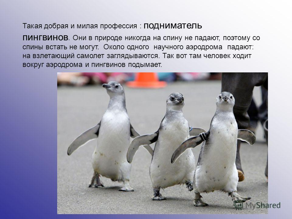 Такая добрая и милая профессия : подниматель пингвинов. Они в природе никогда на спину не падают, поэтому со спины встать не могут. Около одного научного аэродрома падают: на взлетающий самолет заглядываются. Так вот там человек ходит вокруг аэродром