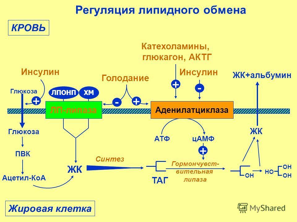 Регуляция липидного обмена КРОВЬ Жировая клетка Глюкоза ПВК Ацетил-КоА Инсулин ЛП-липаза ЛПОНПХМ ЖК Аденилатциклаза Голодание Катехоламины, глюкагон, АКТГ Инсулин + - АТФ цАМФ Синтез ТАГ Гормончувст- вительная липаза ОН НО ЖК ЖК+альбумин - + + +