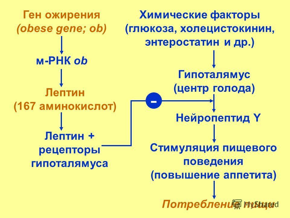 Ген ожирения (obese gene; ob) м-РНК ob Химические факторы (глюкоза, холецистокинин, энтеростатин и др.) Лептин (167 аминокислот) Гипоталямус (центр голода) Нейропептид Y Стимуляция пищевого поведения (повышение аппетита) Потребление пищи Лептин + рец