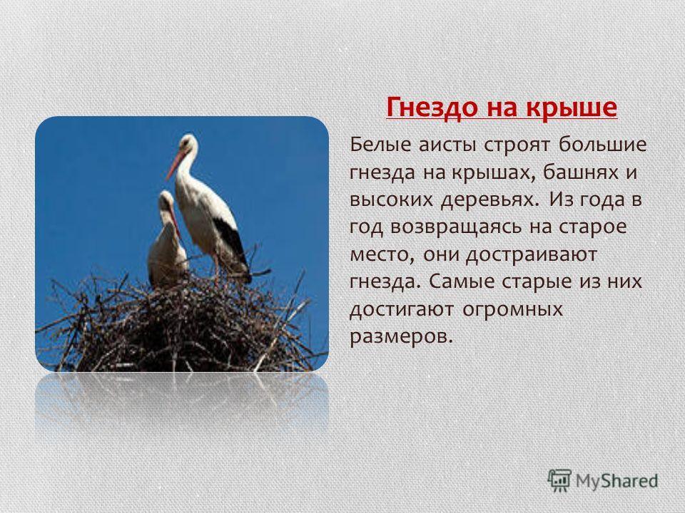 Гнездо на крыше Белые аисты строят большие гнезда на крышах, башнях и высоких деревьях. Из года в год возвращаясь на старое место, они достраивают гнезда. Самые старые из них достигают огромных размеров.
