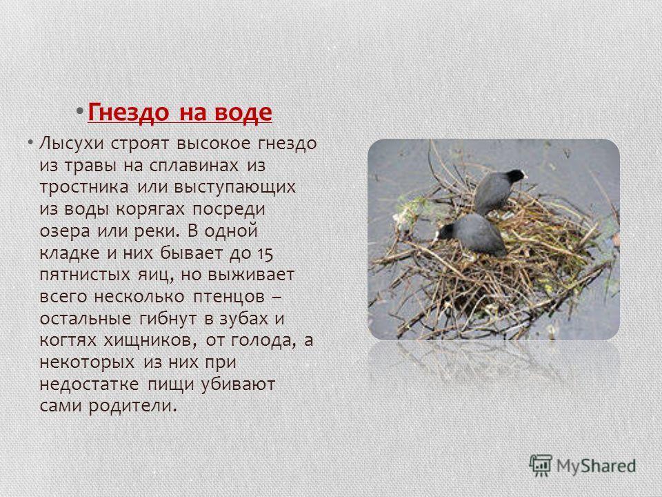 Гнездо на воде Лысухи строят высокое гнездо из травы на сплавинах из тростника или выступающих из воды корягах посреди озера или реки. В одной кладке и них бывает до 15 пятнистых яиц, но выживает всего несколько птенцов – остальные гибнут в зубах и к