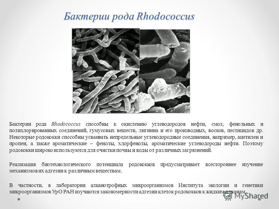 Бактерии рода Rhodococcus Бактерии рода Rhodococcus способны к окислению углеводородов нефти, смол, фенольных и полихлорированных соединений, гумусовых веществ, лигнина и его производных, восков, пестицидов др. Некоторые родококки способны усваивать