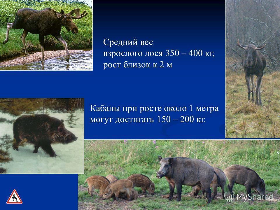 Средний вес взрослого лося 350 – 400 кг, рост близок к 2 м Кабаны при росте около 1 метра могут достигать 150 – 200 кг.