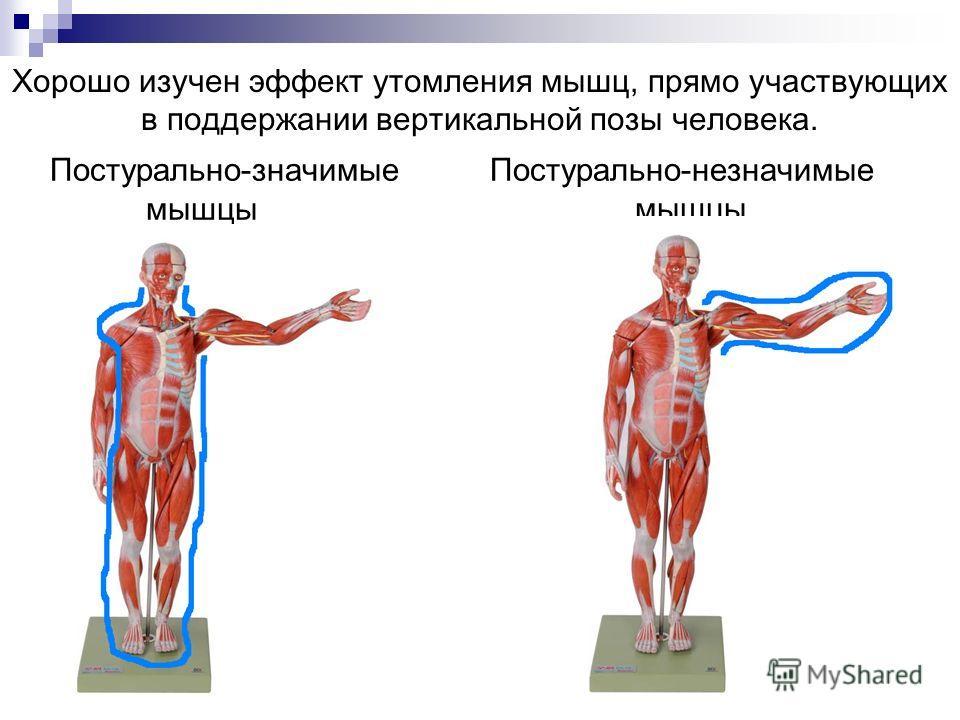 Постурально-значимые Постурально-незначимые мышцы мышцы Хорошо изучен эффект утомления мышц, прямо участвующих в поддержании вертикальной позы человека.