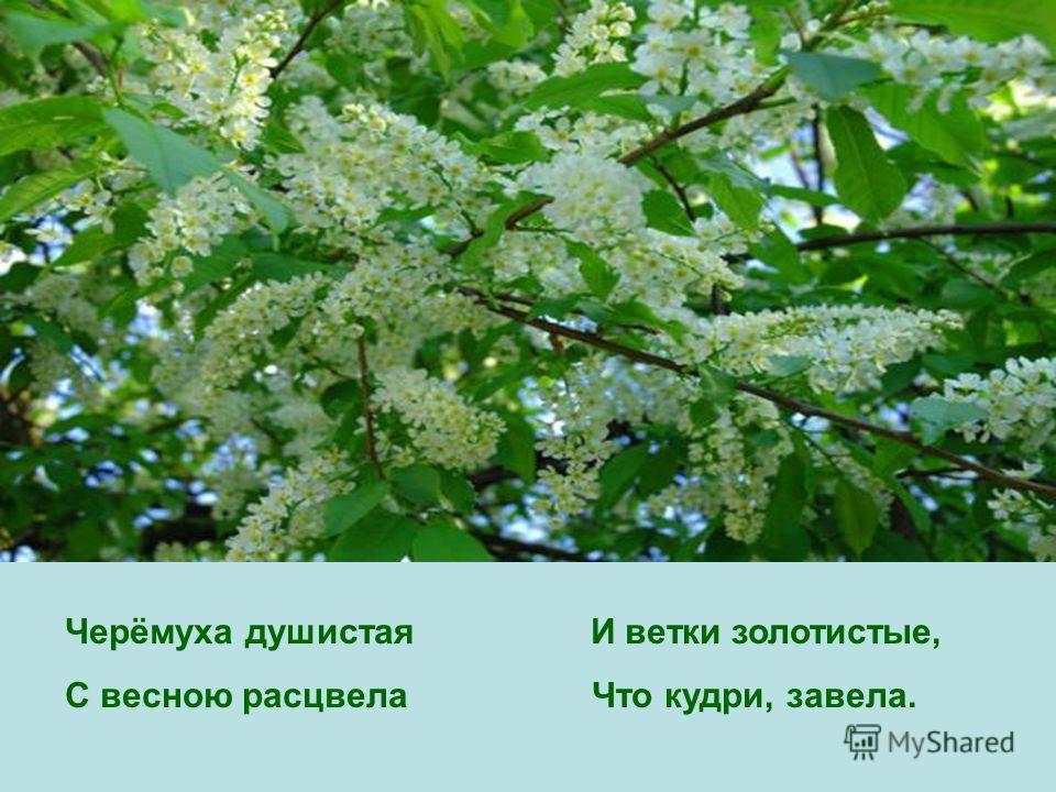 Черёмуха душистая И ветки золотистые, С весною расцвела Что кудри, завела.