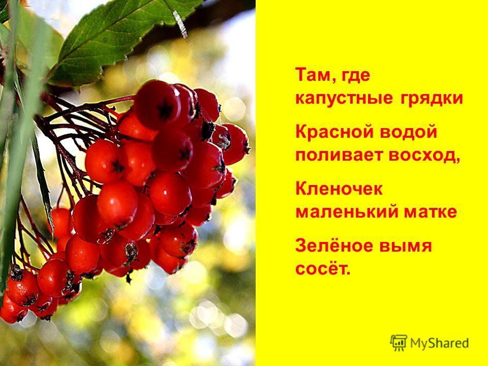 Там, где капустные грядки Красной водой поливает восход, Кленочек маленький матке Зелёное вымя сосёт.