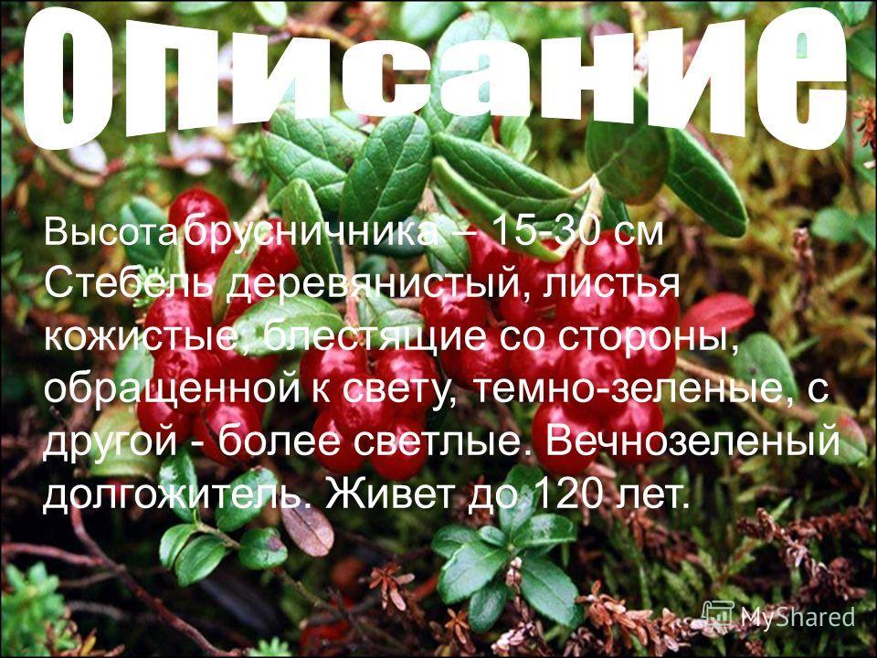 Высота брусничника – 15-30 см Стебель деревянистый, листья кожистые, блестящие со стороны, обращенной к свету, темно-зеленые, с другой - более светлые. Вечнозеленый долгожитель. Живет до 120 лет.