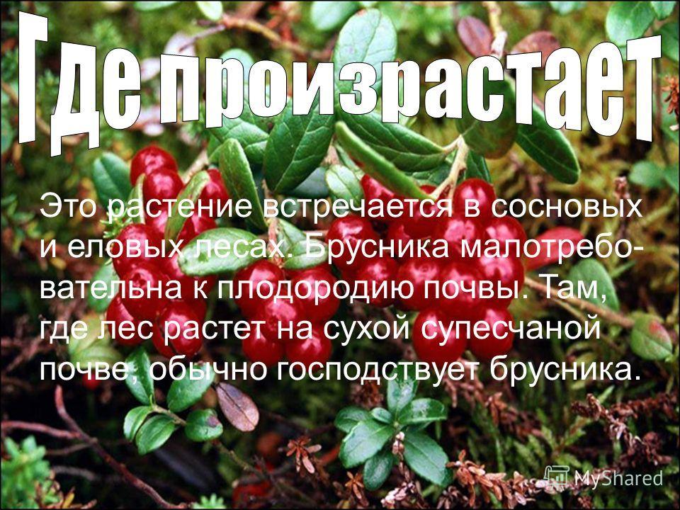 Это растение встречается в сосновых и еловых лесах. Брусника малотребо- вательна к плодородию почвы. Там, где лес растет на сухой супесчаной почве, обычно господствует брусника.