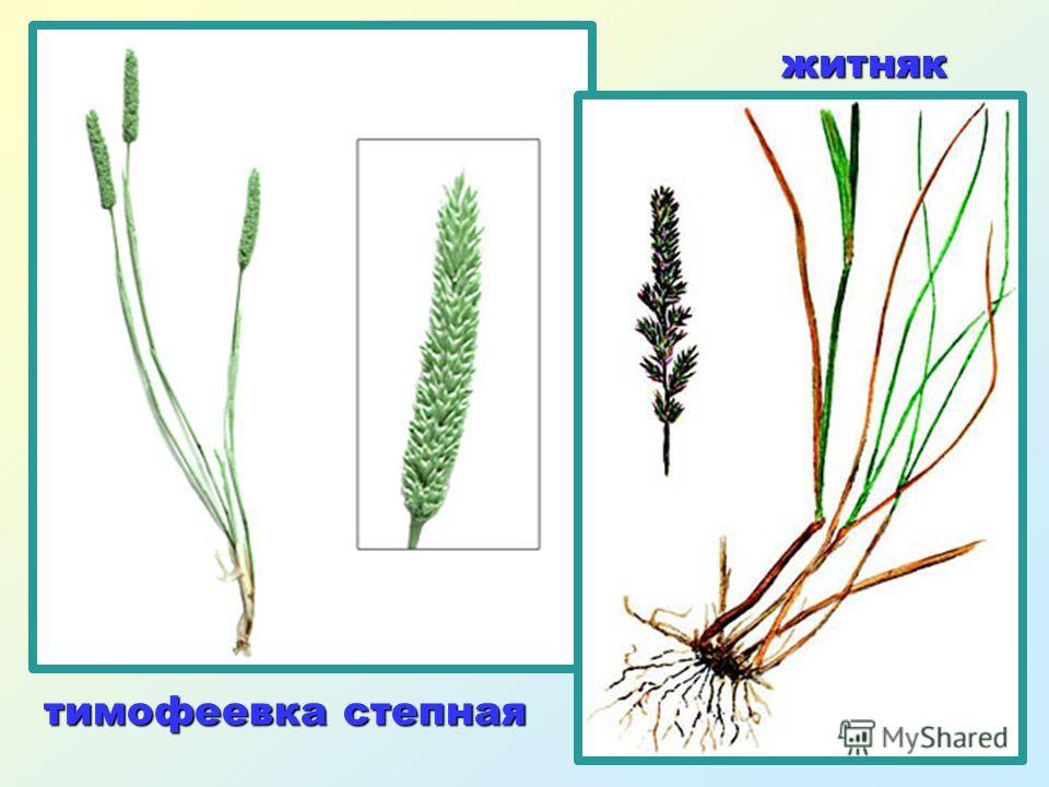 Растения степи Маки Сон - трава Тюльпаны Ковыль Пион Перекати - поле Крокусы Терновник