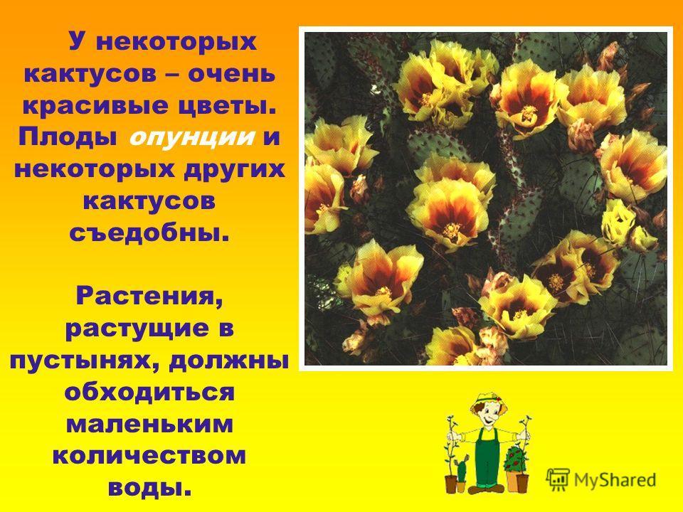 У некоторых кактусов – очень красивые цветы. Плоды опунции и некоторых других кактусов съедобны. Растения, растущие в пустынях, должны обходиться маленьким количеством воды.
