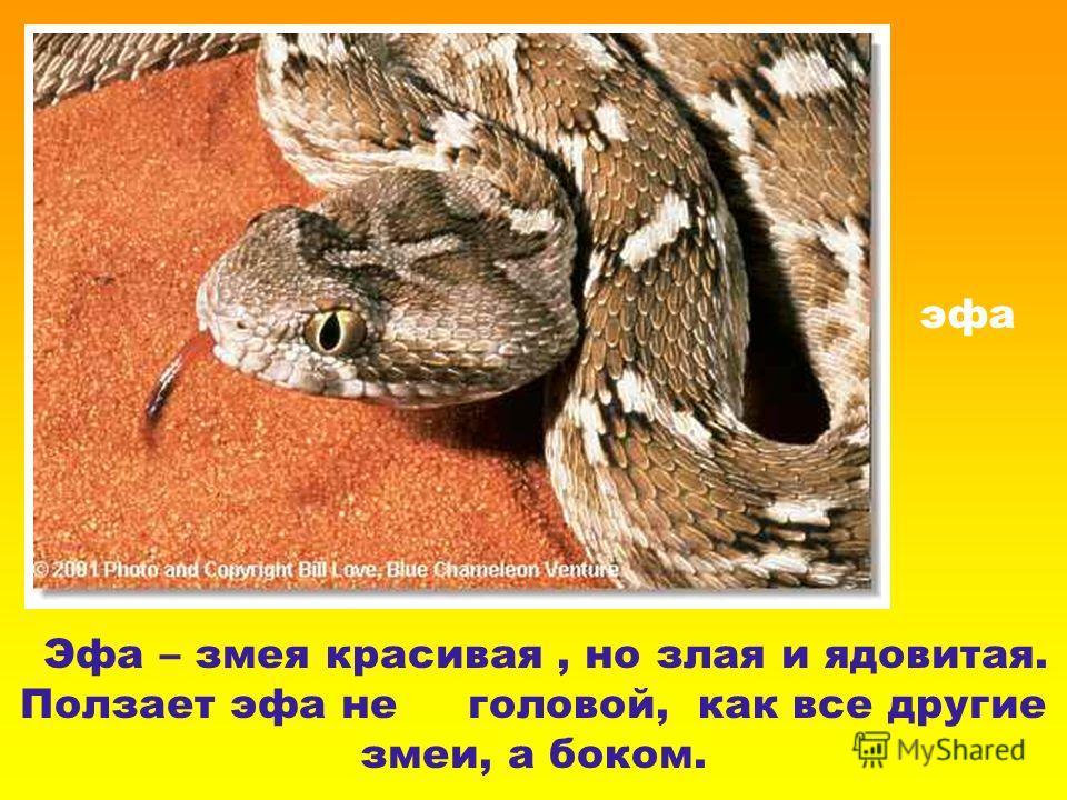 эфа Эфа – змея красивая, но злая и ядовитая. Ползает эфа не головой, как все другие змеи, а боком.