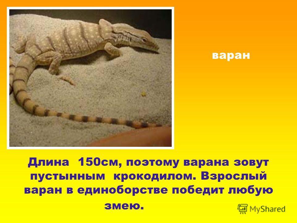 варан Длина 150см, поэтому варана зовут пустынным крокодилом. Взрослый варан в единоборстве победит любую змею.